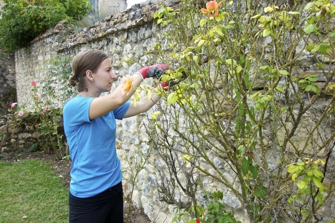 pruning roses - at helpexchange in Loire France Castle another way to get free accommodation in exchange for work